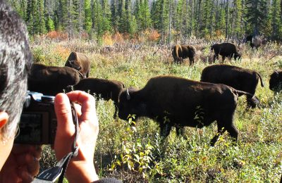 Buffalo viewing tours, north star adventures