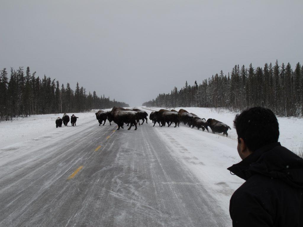 winter buffalo viewing tour